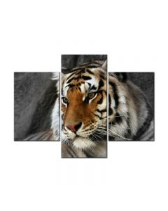 Bengal Tiger, Home and Garden, Triptych, 48 X 36 Inches
